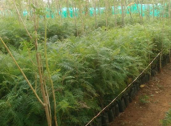 BSIV Nursery and Farms - Sandalwood Nurseries in dindigul